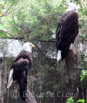 aguia-careca2