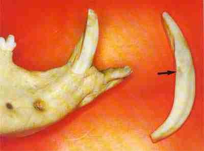 Figura 3 - Dentes canino fora do alvéolo de um cateto. Observar sua forma arqueada, sendo a metade superior a coroa e a inferior a raiz do dente.