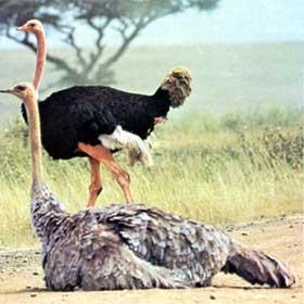 avestruz2