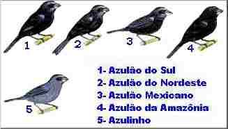 azulao2