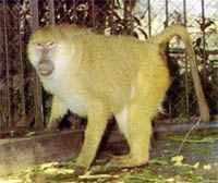 babuino_a