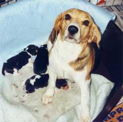 beagle_filhotes