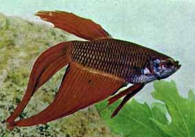 betta vermelho - axelrod
