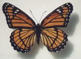 borboleta_4_pernas