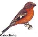 caboclinho_peito_preto