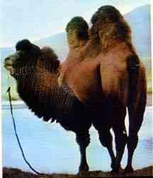 camelo1