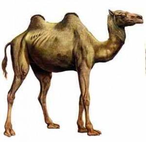 camelo2