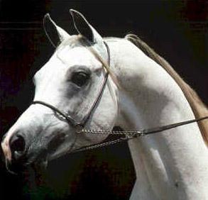 cavalo_arabe01