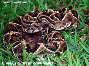 crotalus_durissus_collilineatus