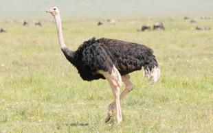 destaque_avestruz