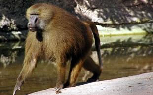destaque_babuino