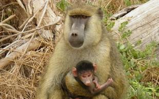 destaque_babuino_amarelo