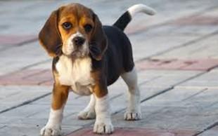 destaque_beagle