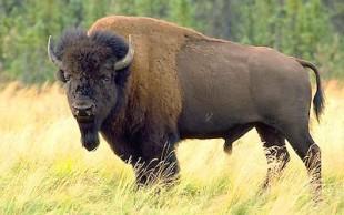 destaque_bison