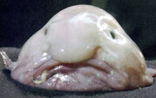 destaque_blobfish