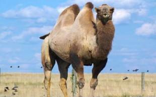 destaque_camelo