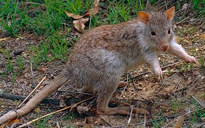 cangurú rato saúde animal saúde animal