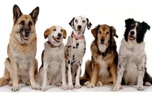 destaque_dogs