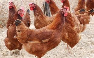 destaque_galinhas