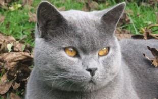 destaque_gato_chartreux