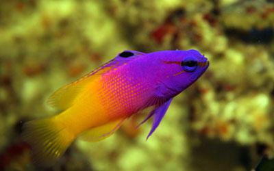 Peixes marinho fam lia gramidae sa de animal sa de Aquarium familia numerosa