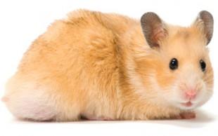 destaque_hamster