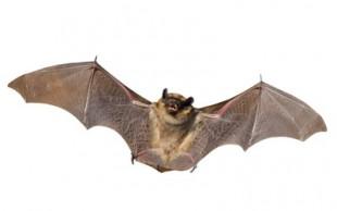 destaque_morcego