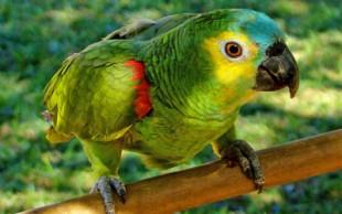 destaque_papagaio