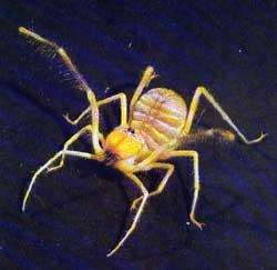 falsa_aranha
