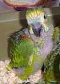 filhote_papagaio