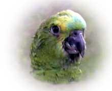 papagaio001