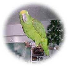 papagaio002
