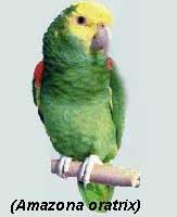 papagaio004