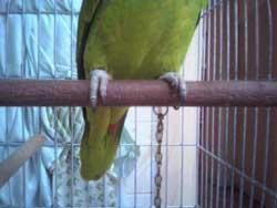 papagaio_corrente_celular1