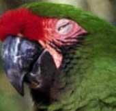 papagaio_dormindo