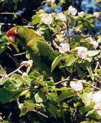 papagaio_natureza