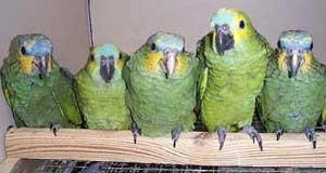 papagaio_reproducao