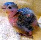 papagaio_reproducao2