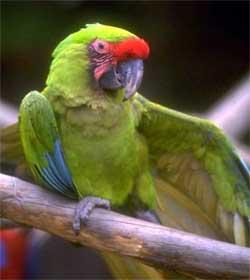 papagaios01