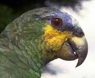 papagaios04