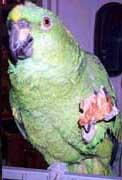papagaios05