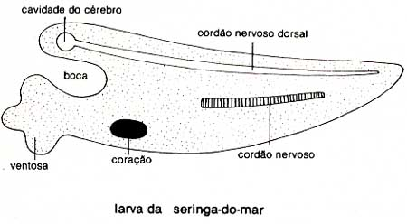 seringa_do_mar