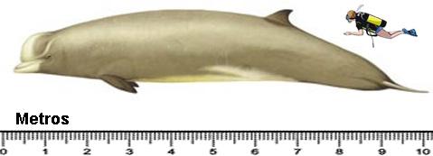 baleia-bico-de-garrafa