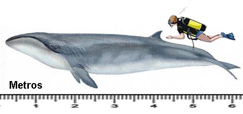 baleia-pigmeu