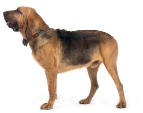 bloohund