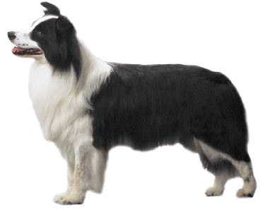 border_collie2