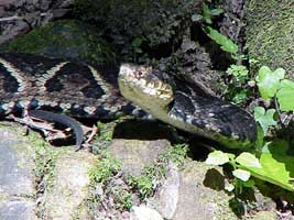 bothrops_jararacussu1_mini