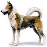 canaan_dog