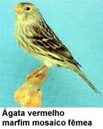 canario_agata
