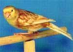 canario_amarelo